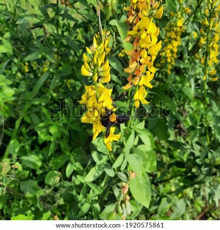 Smooth crotalaria flower at my backyard Foto stock ©