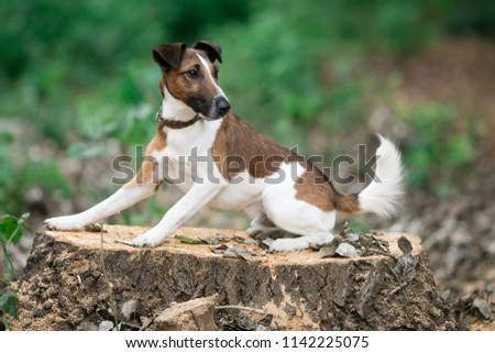 Smooth fox terrier lies on a stump in the park