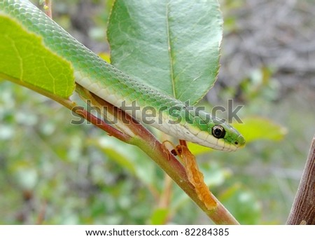 Smooth Green Snake, Liochlorophis vernalis climbing on a branch