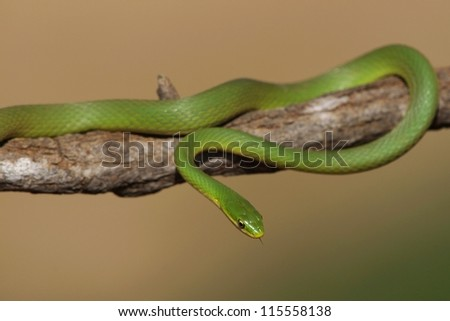 Smooth green snake on tree branch.
