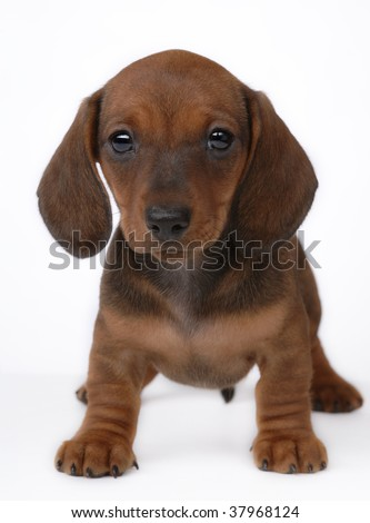 Smooth-haired Dachshund puppy on gray