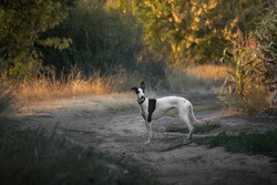smooth-haired white with black greyhound dog stands on the road at sunset in summer