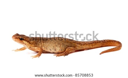 Smooth or common newt, Lissotriton vulgaris, female isolated on white