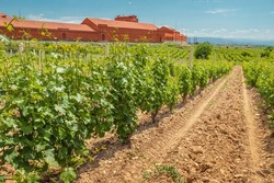Smooth rows of grapes on the plantations at the winery. Agriculture and alcohol and wine production with farm building