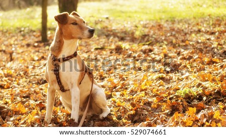 smooth terrier sitting in nature autumn. autumn moments in nature with fox terrier hunter dog, dog in forest autumn #529074661