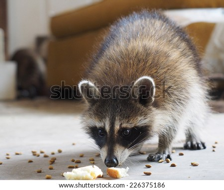 Snacking Raccoon