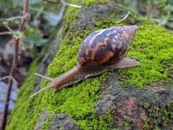 Snail. A snail is, in loose terms, a shelled gastropod. The name is most often applied to land snails, terrestrial pulmonate gastropod molluscs.