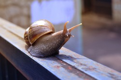 Snail (Bekicot, Achatina fulica, African giant snail, Archachatina marginata) with natural background.Close up snail isolated at blurry background