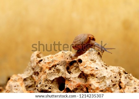 Stock Photo Snail brown background Will meet during the rainy season.