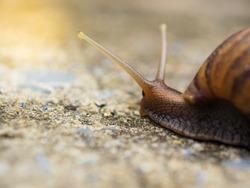 Snail. Close-up Snail. Curious snail crawling on concrete. Helix. Roman snail.