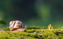 Snail closeup. Burgundy snail (Helix, Roman snail, edible snail, escargot) on a surface with moss.Helix promatia