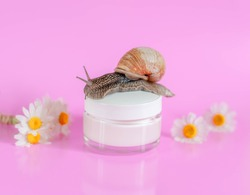 Snail crawling on a jar of face cream in the background of chamomile on a pink background. Face cream with extract of chamomile and snail mucus for regeneration and anti-aging facial skin.