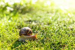 Snail crawling on green grass, smail crawl on sunshine morning, brown snail on grass.