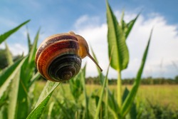 Snail crawling on the green grass. Wide angle shot, meadow and blue sky can be seen in the background.
