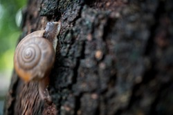 Snail Crawling up on the Tree, Focus at the Head of Snail. Species of Land Snail in the family Helicidae a Terrestrial Gastropod Molluse.