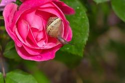Snail crawls on a wet petal of a pink rose flower, blurred background