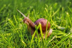 snail crawls on the green grass in the sunlight