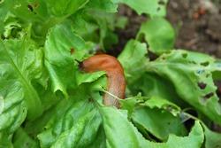 Snail destroy the garden salad