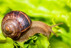 Snail eating and crawling on lettuce leaf