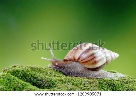Snail, Giant African snail or giant African land snail (Lissachatina fulica) Selective focus, blurred natural green background with copy space.