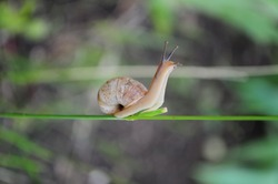 Snail Helix pomatia crawls by plant stem with green blurred background. Escargot snail with brown shell side view. Photo of nature zoomed in
