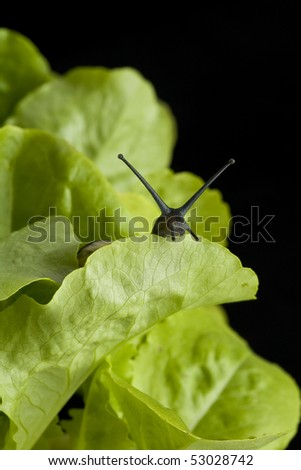 Snail hiding behind a lettuce leaf - stock photo