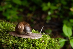 Snail in its natural habitat. The largest snail in Europe against the backdrop of a wild forest.