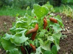 Snail Invasion on the salad garden