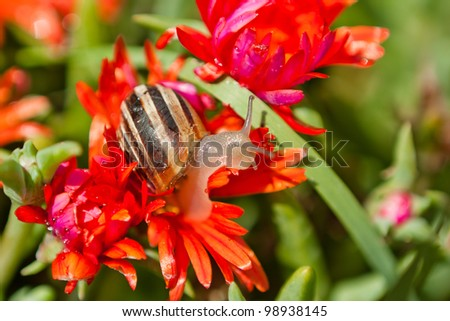 Snail is climbing up the red flowers