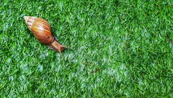Snail is crawling slowly on the watering green grasses.