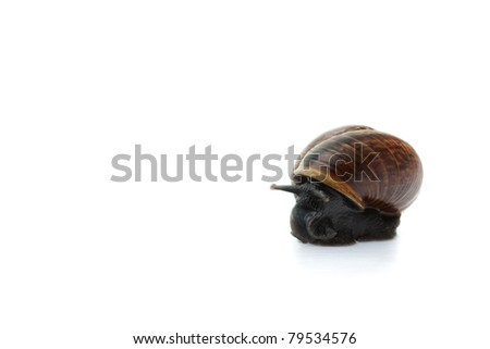 Snail isolated on white background, focused on head, concept of fearful snail, macro focused on head