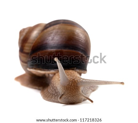 Snail isolated on white background. Front view.