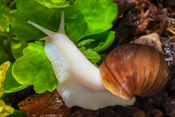Snail. Macro photo. Expanded clay stones. Green leaves. Blooming greenery. Close-up of the Achatina snail. Snail habitat. The texture of expanded clay stones. Snail for relaxation and cosmetology