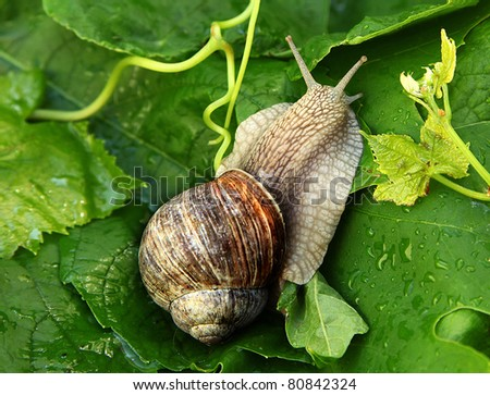 snail mowing slowly on vine leafs