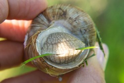 Snail Muller . Large white mollusk snails with striped shell, crawling on vegetables. Helix pomatia, Burgundy, Roman, escargot.