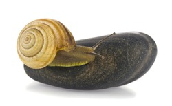 Snail on a stone isolated on a white background close-up. Detail for design. Design elements. Macro.Background for business cards, postcards and posters.