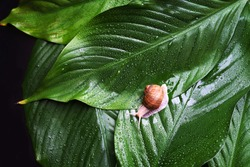 Snail on green leaves with rain drops background. Snail slime. Flat lay, top view, copy space. Beauty concept. Minimal natural layout.