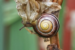 snail on leaf, close up of snail shell, Fibonacci spiral pattern