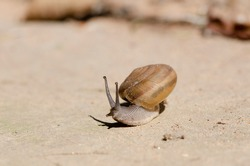 snail on road reaching up, Roman snail edible snail or escargot snail on blur background