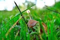 Snail on the morning dew grass eats plant leaves. Helix pomatia, common names the Roman snail, Burgundy snail, edible snail