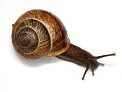 Snail ordinary