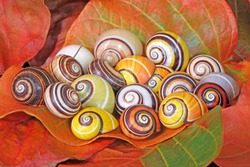 Snail : Polymita picta or Cuban snails one of most colorful and beautiful land snails in the wolrd from Cuba , its known as