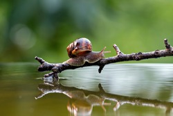 SNAIL PORTRAIT ON BRANCH WITH REFLECTION IN WATER