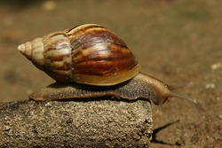 snail seen from the right side. An animal that is slimy and walks very slowly