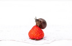 snail sitting on strawberry berry, summer concept, healthy eating.