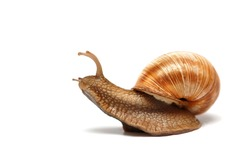 snail sliding on surface isolated on white