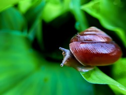 Snail slime is a kind of mucus, an external bodily secretion, which is produced by snails, which are gastropod mollusks.