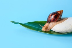 Snail, spa stone and green leaf on color background
