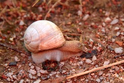 Snail walking on a stony road. High quality photo. Selective focus