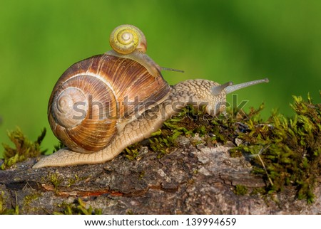 Snail with its baby on its shell
